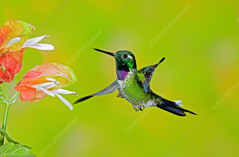 Purple-bibbed Whitetip Hummingbird