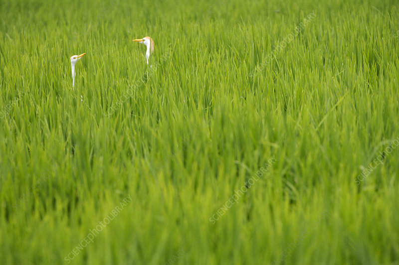 Cattle Egret in Rice Fields