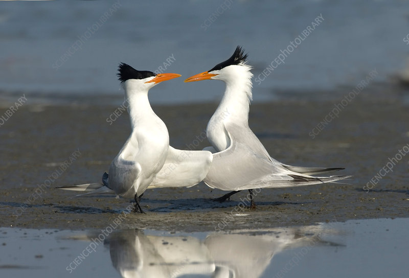 Royal Tern pair doing royal dance