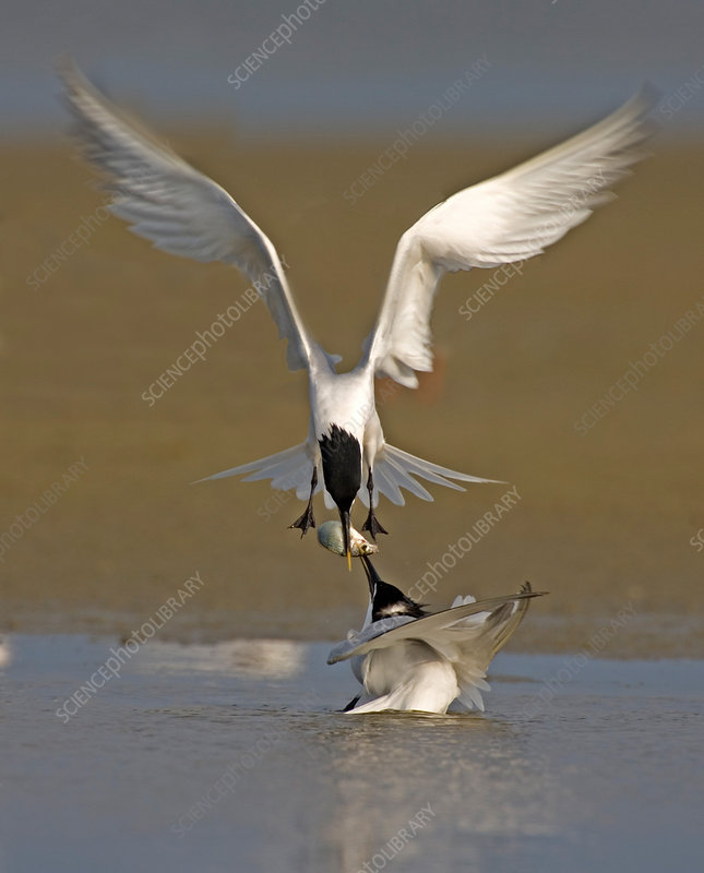 Sandwich Tern bringing fish to its mate
