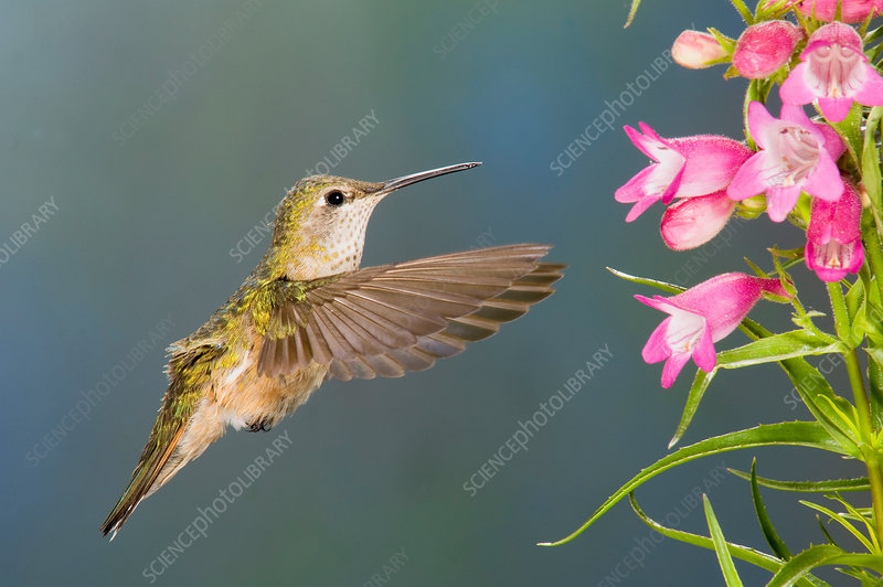 Female Broad-tailed Hummingbirds