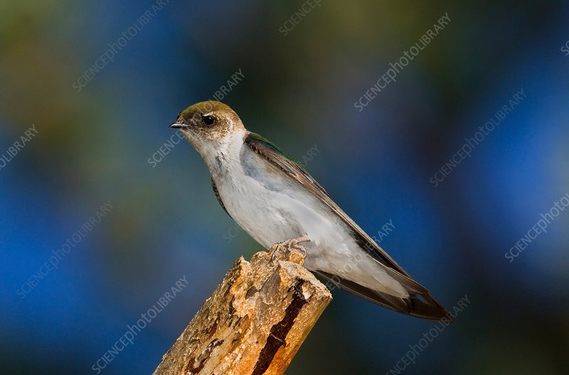 Female Violet-green Swallow