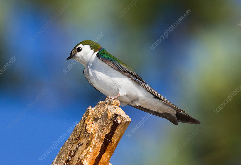 Male Violet-green Swallow