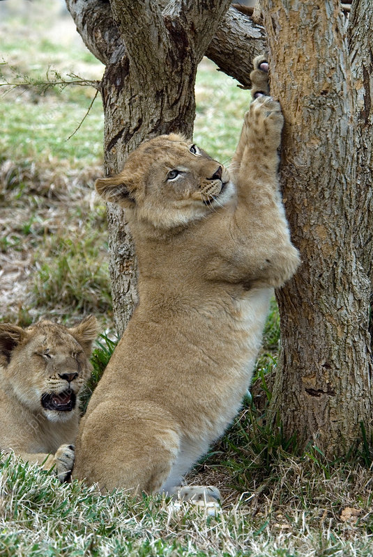 African Lion cub sharpens its claws