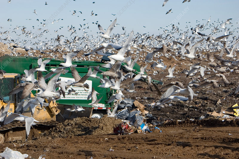 Landfill and Seagulls