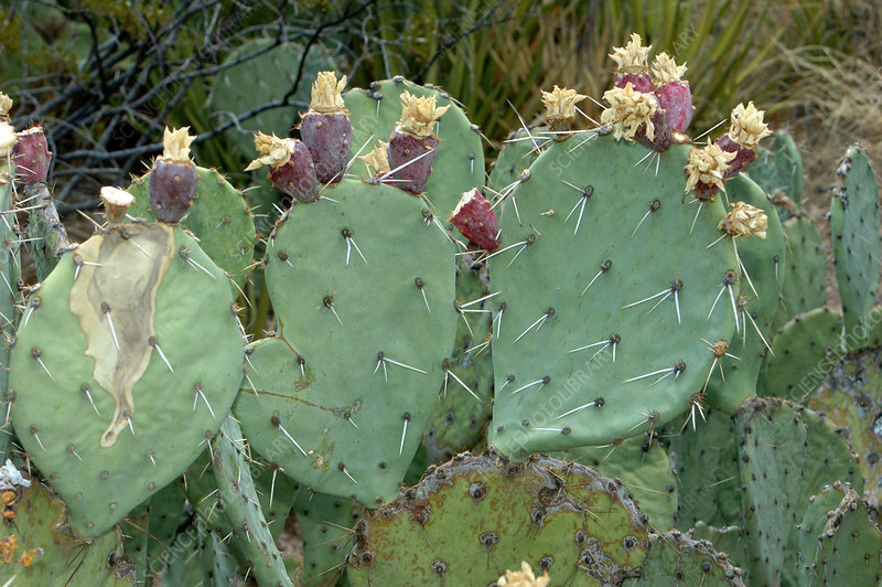 New Mexico Prickly Pear Cactus