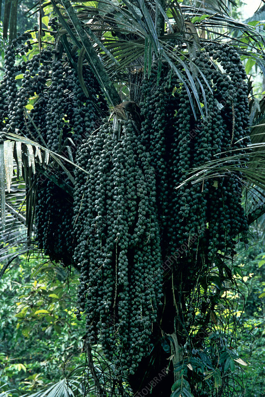 Fruiting Palm