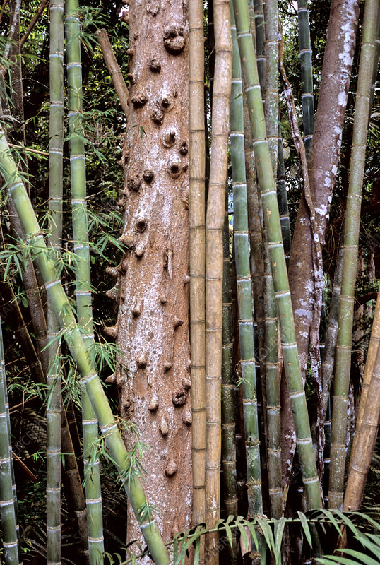 Bamboo and Tree Trunk
