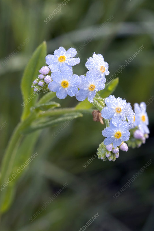 True Forget Me Not