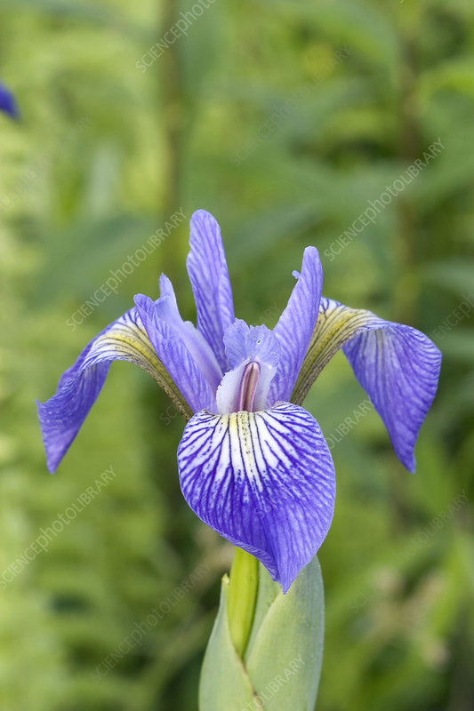 Larger Blue Flag Iris