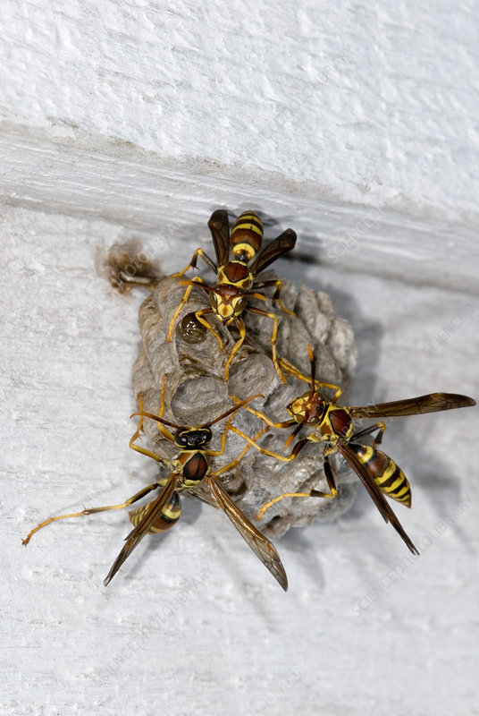 Paper Wasps (Polistes sp.) at nest