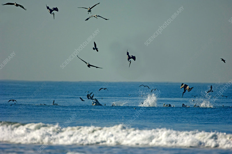 Brown Pelicans Hunting