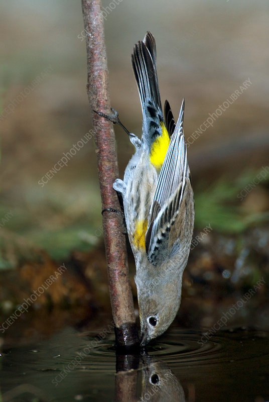 Yellow-rumped Warbler Drinking