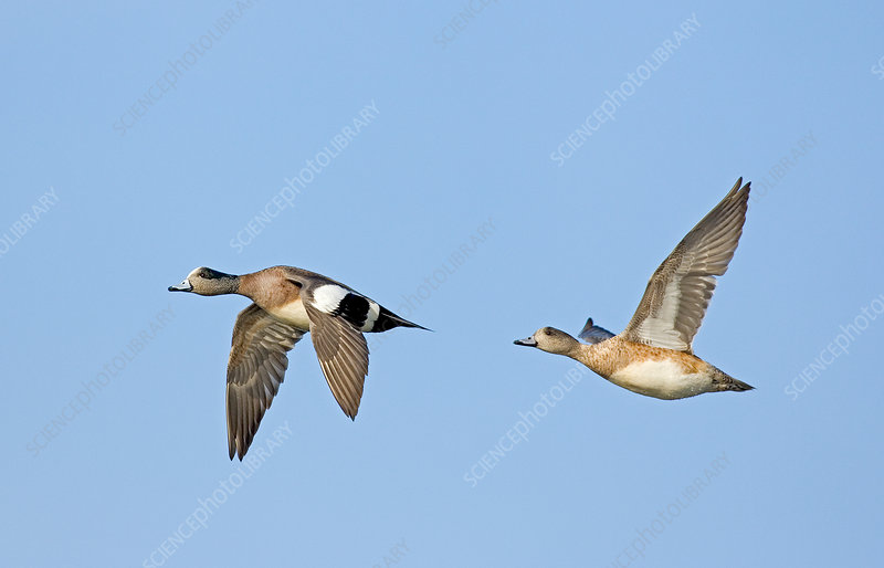 Wigeon Pair Flying