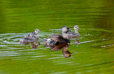 Least Grebe and Young