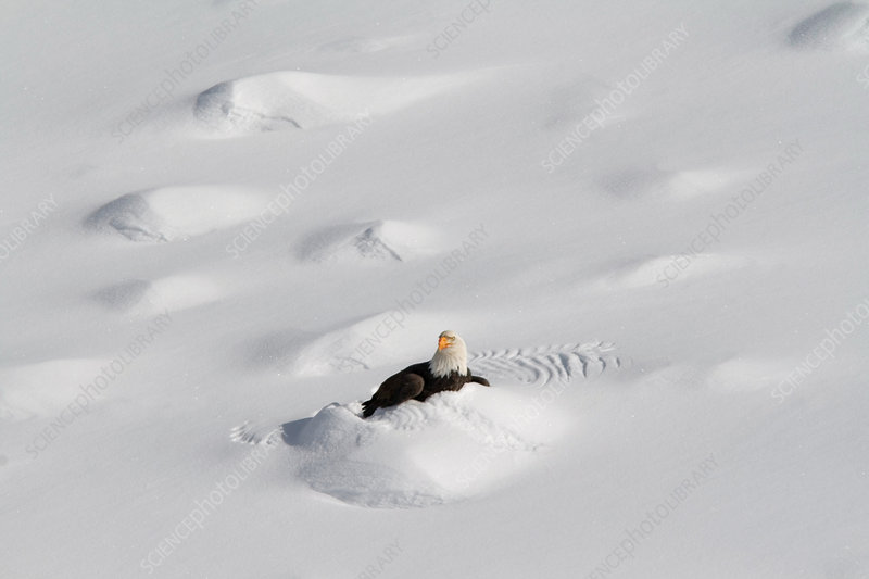 Burrowing Bald Eagle
