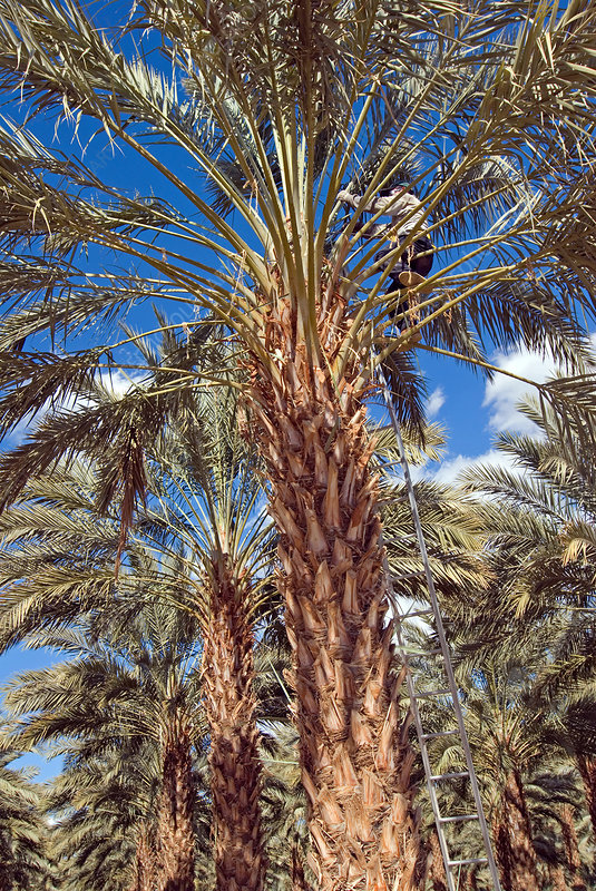 Date Palm Pruning