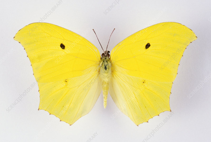 Giant Brimstone Butterfly