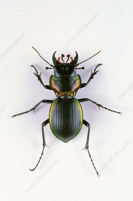 Giant Ground Beetle