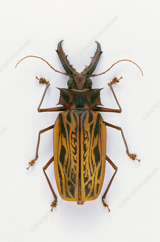 Giant Prionin Beetle