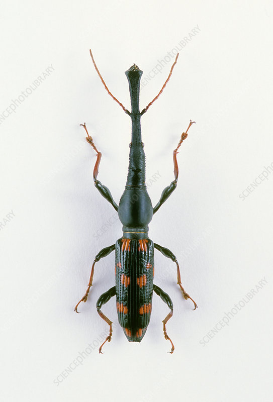 Giant Straight-snouted Weevil