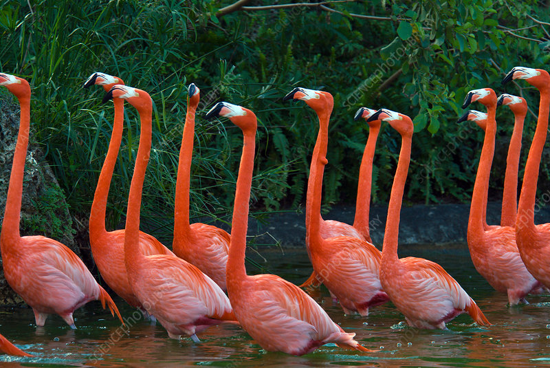 Caribbean Flamingoes
