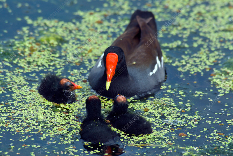 Common Moorhen mother with chicks