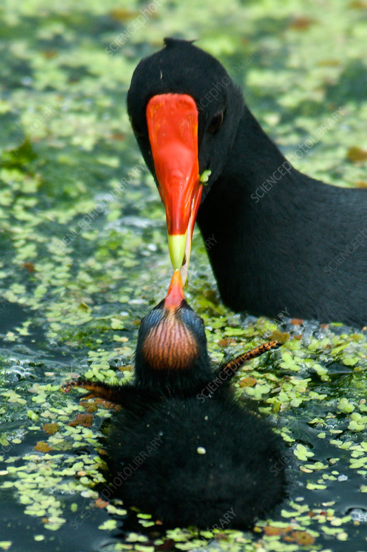 Common Moorhen feeding chick