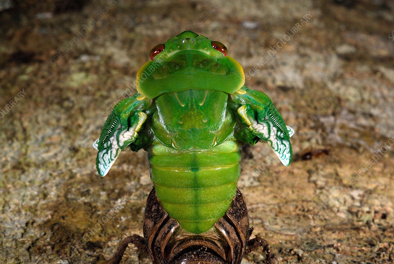 Northern Greengrocer Cicada