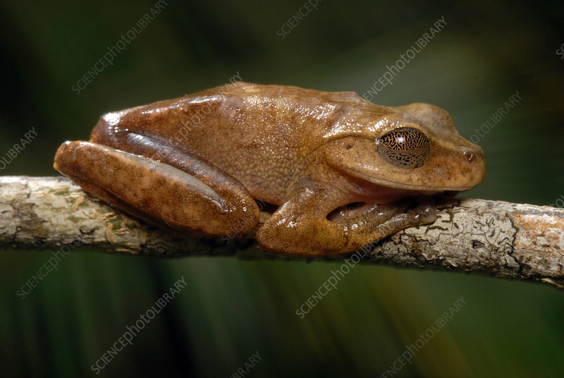 Lace-lid Frog
