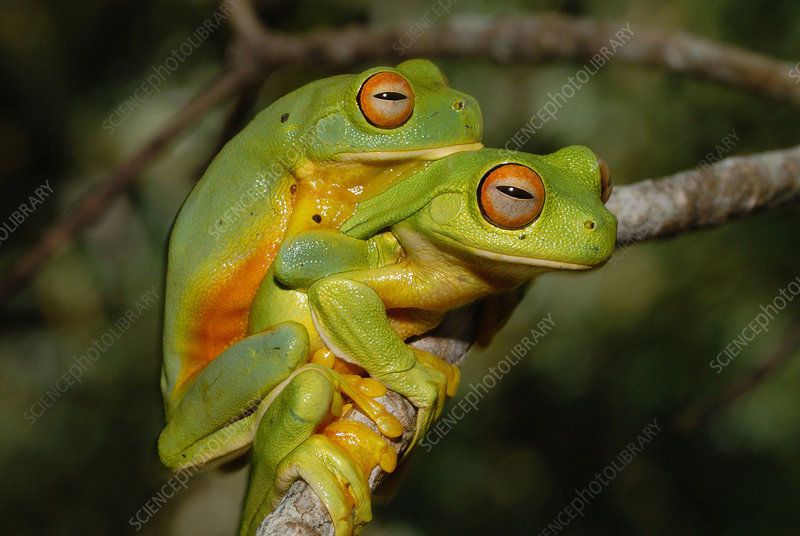 Orange Thighed Tree Frogs Mating