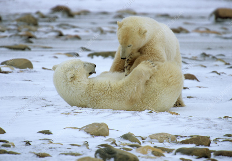 Polar Bears Playfighting