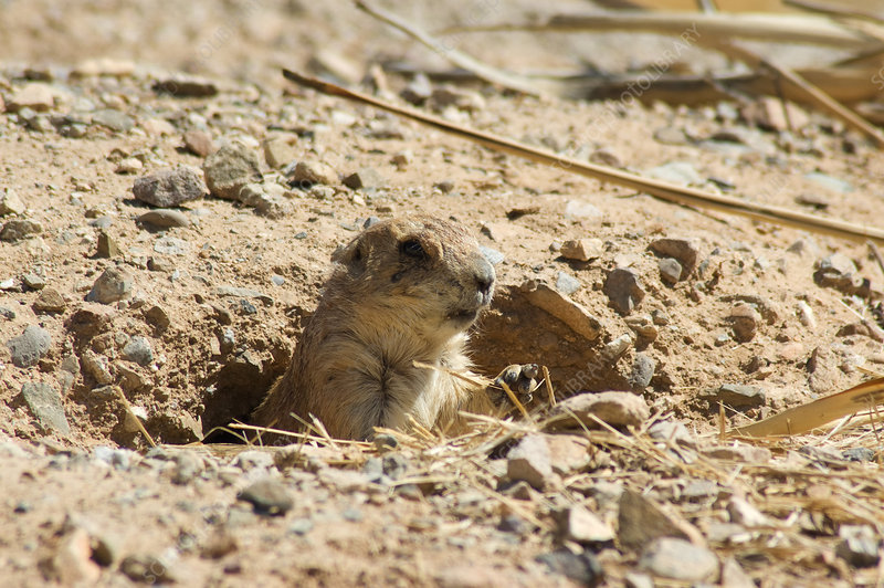 Black-tailed Prairie Dog (Cynomys ludovic