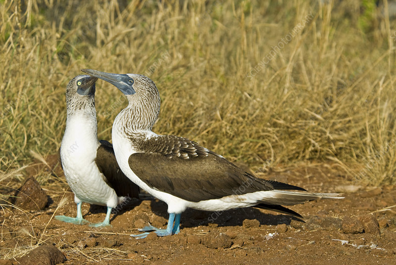 Blue-footed booby pair