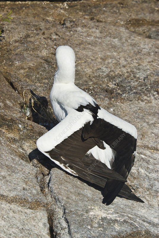 Nazca booby thermoregulating