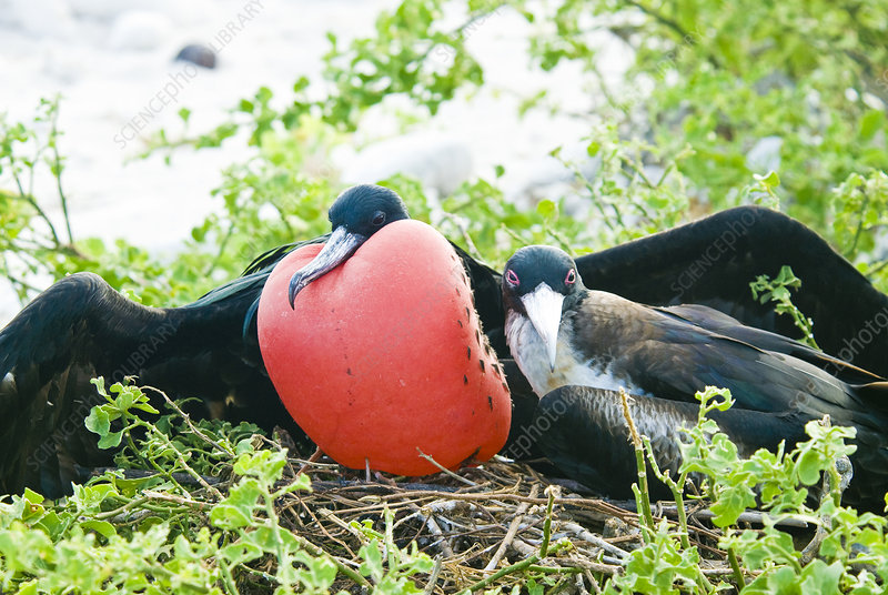 Great frigatebird pair