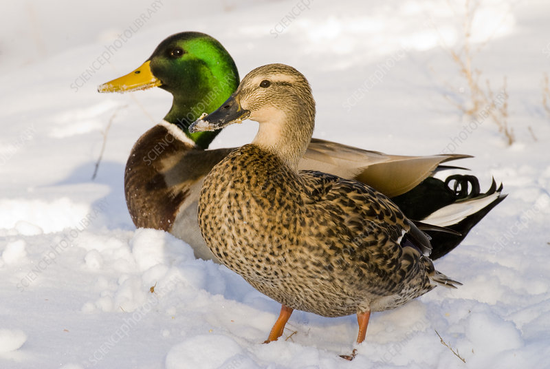 Mallard Pair in Snow
