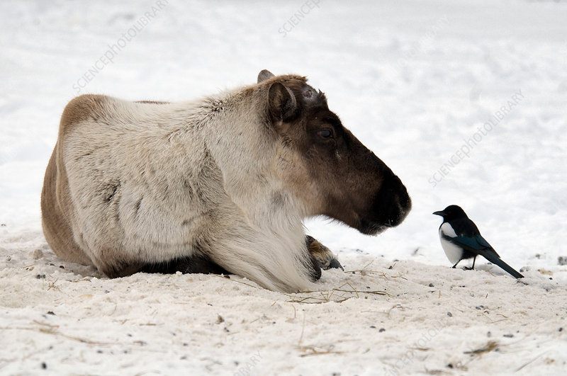 Caribou and Magpie