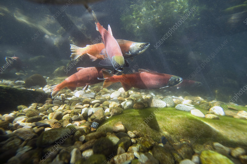 Kokanee salmon in spawning colors