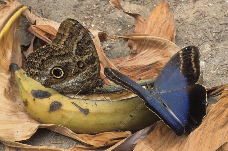 Owl butterflies feeding on banana