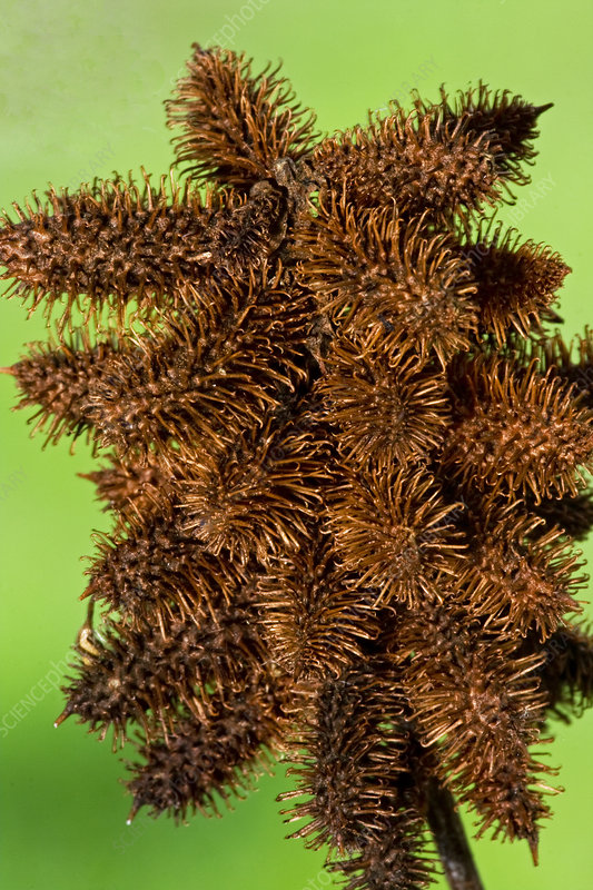 Cocklebur burrs