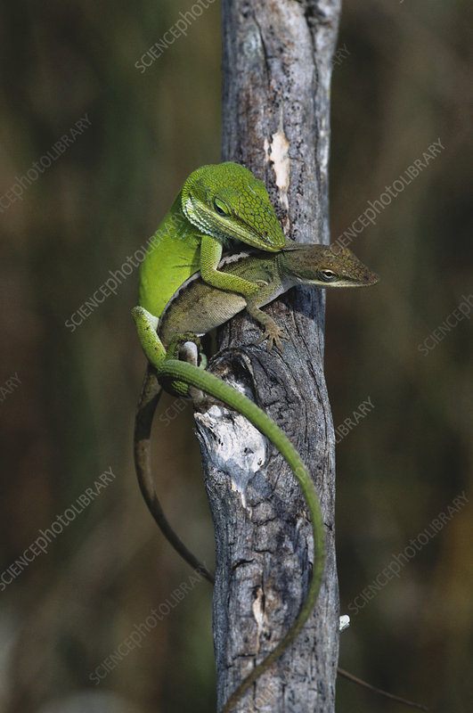 Mating Anoles