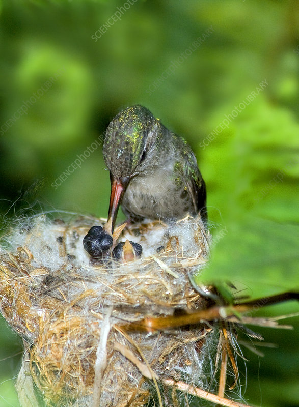 Broad-billed Hummingbird and Young