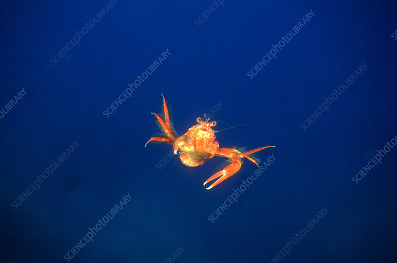 Pelagic Tuna Crab