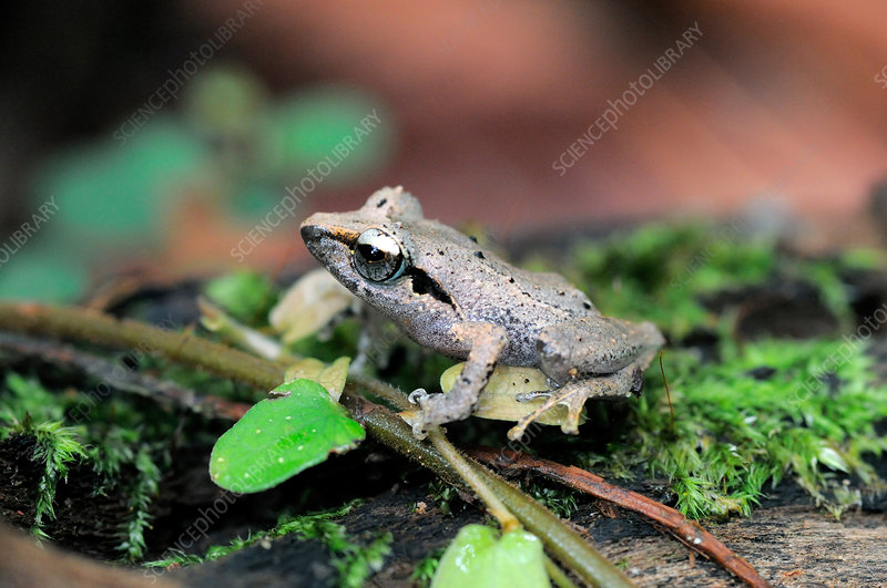 Leaf-dwelling shrub frog