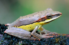 Montane hour-glass tree frog