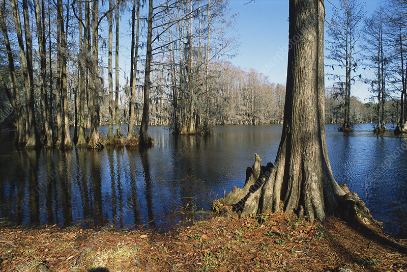 Bald Cypress Swamp, NC