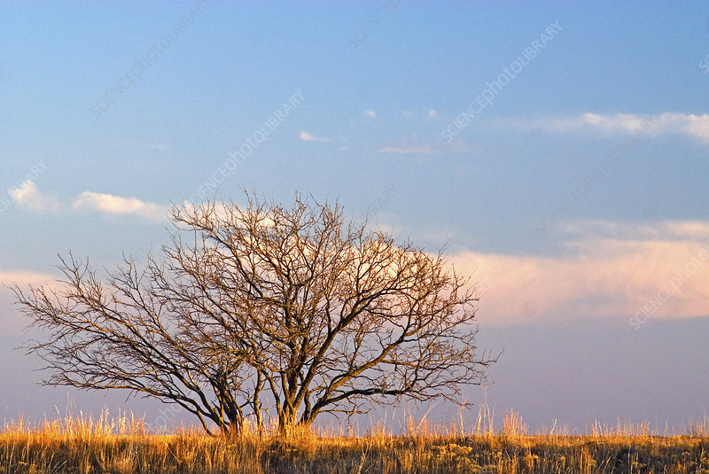 Tree in high plains, Texas