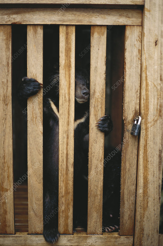 Captured Sun Bear Cub