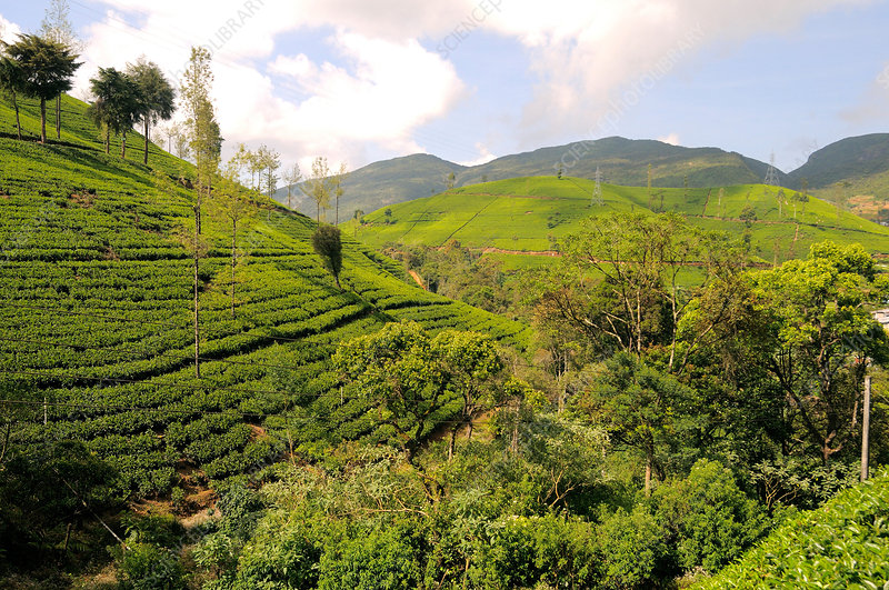 Tea Plantation, Sri Lanka